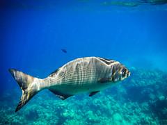 F2462E7 - Roatan Underwater Big Fish (Bob f1.4) Tags: camera sea fish bay underwater snorkel infinity honduras fujifilm caribbean roatan reef