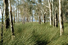 Swampy Shores, Myall Lakes National Park, NSW, 18th September, 1971. (garratt3) Tags: aus film myalllakesnationalpark northcoast pentax rural takumar bushwalking wilderness australia kodachrome nsw newsouthwales