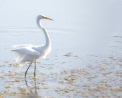 Morning Great Egret (AmyBaker0902) Tags: park beach fog state south huntington great carolina egret