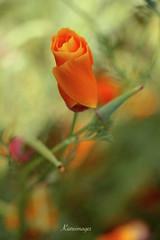 Tornade des couleurs (kiareimages1) Tags: flowers colors fleurs couleurs images colores fiori colori imagery artistique immagini fleurssauvages artenatura fioriselvaggi