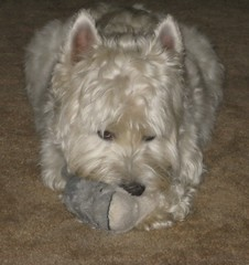 """7/12A ~ Riley ~ """"It's Mine!"""" (ellenc995) Tags: riley westie westhighlandwhiteterrier 12monthsfordogs15 stuffie thesunshinegroup coth coth5 sunrays5 supershot pet100 pet500 pet1000 thegalaxy challengeclub abigfave citrit 100commentgroup"""
