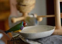 DSC_7824 (Jenny Yang) Tags: pet bird lady finch gouldian