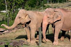 Zoo park Itatiba (Juliotrlima) Tags: brazil brasil canon pachyderm elephants itatiba zoopark zoologico markiii 100400 paquiderme