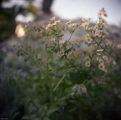 Mid Summer (BunnySafari) Tags: film garden guelph borage yashicamat124g kodakportra400 bunnysafari