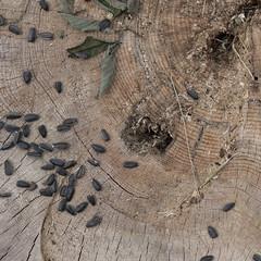 181 (daniil.orlov) Tags: wood wooden leaf sony seeds nex emount sel35f18 nex5n