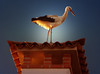IMG_2780 Chimney stork at sunset (pinktigger) Tags: stork cigüeña storch cicogne ooievaar ciconiaciconia cicogna cegonha bird nature fagagna feagne friuli italy italia oasideiquadris animal outdoor chimney sunset light