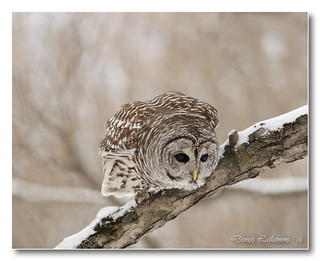 1E1A0033-2-DL   -   Chouette rayée / Barred Owl.