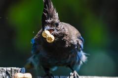 A peanut in the mouth is worth two in the... (CORDAN) Tags: 2017 cordan dmyers nikond300 nikkor70200mmf28dtc17eii stellersjay cyanocittastelleri geaidesteller characrestada crest fluffy stellarjay brightblueandblack blue bird bluebird peanut bokeh bokehliciousbird flickrgolfclub bokehhearts♥♥