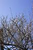 早春梅 (hs_8585) Tags: k3ii fa35mmf2 flower 梅