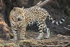 Jaguar (Young) Walking On Bank (Barbara Evans 7) Tags: jaguar young walking along river bank pantanal brazil barbara evans7