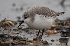 Sanderling (Plumped up against the cold and rain) (GrahamParryWildlife) Tags: grahamparrywildlife sigma 150600 sport 150 600 canon 7d mkii outdoor animal depth field mk2 uk kent rspb viewing photo flickr add new sunlight up blue dof kentwildlife dungeness sea water turnstone nnr bird sanderling fluffed plumped rain cold