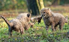 cheetah Burgerszoo JN6A8973 (j.a.kok) Tags: cheetah jachtluipaard acinonyxjubatus acinonyxjubates burgerszoo burgerzoo cat kat mammal zoogdier predator africa afrika