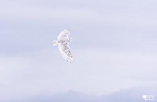 L'ange tâchetée! Harfangs des neiges - snowy owl