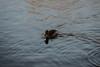 Fulvous tree-duck/whistling duck (PChamaeleoMH) Tags: centrallondon fulvoustreeduck london stjamesspark