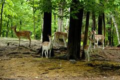 Montebello - Parc Oméga (Michele C_) Tags: canada parcomega quebec