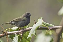Black-faced Grassquit (ronmcmanus1) Tags: antigua bird nature outdoors wildlife jollyharbour stmarysparish antiguabarbuda