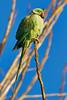 Parakeet Harmony (paulinuk99999 - tripods are for wimps :)) Tags: paulinuk99999 roseringed parakeet london river thames green bird wildlife psittaculakrameri sal70400g