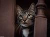 Fisgando... (Eugercios) Tags: snoop fisgar curiosidad gato cat animal pet mascota felino ojos eyes asturias asturies astúrias principadodeasturias españa espanha europa europe street spain portrait retrato