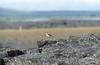 Wheatear (Oenanthe oenanthe) (SteveInLeighton's Photos) Tags: transparency birds iceland myvatn july ektachrome wheatear 1984