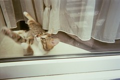 0027 (Ami Van Caelenberg) Tags: cat kitty kitten pet animal window glass curtain feline analog analogue disposable disposablecamera fujifilm ghent reflection paws cute