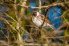 Reed Bunting (m) (phat5toe) Tags: reedbunting birds avian feathers wildlife nature wigan flashes greenheart nikon d300 sigma150500