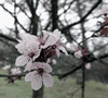 Plum Flowers from Many Years Ago as an Experiment (sjrankin) Tags: 17january2017 edited processed output flowers california northerncalifornia plumblossoms tree dots transparency alpha experiment test
