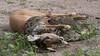 a python got an impala (thomas.reissnecker) Tags: chobe python impala africa safari botswana linianti ngc