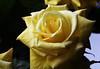 DSC_4210 Yellow Rose (PeaTJay) Tags: nikond750 reading lowerearley berkshire macro micro closeups gardens indoors nature flora fauna plants flowers bouquetofroses rose roses rosebuds