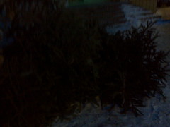 Fotografie23068 (chicore2011) Tags: discarded christmas trees