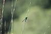 DSC_9080 (mylesm00re) Tags: africa capetown cinnyrischalybeus kirstenboschnationalbotanicalgarden kleinrooibandsuikerbekkie nectariniidae southafrica southerndoublecollaredsunbird sunbirds westerncape za