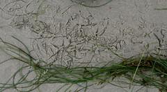tidal imprint 1 (wmpe2000) Tags: 2016 sandiegotrip sandiego missionbeach beachexploring seagrass scoulerssurfgrass phyllospadixscouleri zosteraceae eelgrassfamily orderalismatales lines imprint imprints sand tidalimprintsseries
