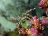 Crab (Lerotic) Tags: uw underwater egypt redsea scuba diving