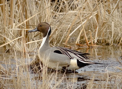 Pintail Drake in the reeds (tresed47) Tags: 2017 201702feb 20170202bombayhookbirds birds bombayhook canon7d content delaware ducks folder northernpintail peterscamera petersphotos places takenby us