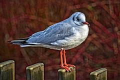 The Poser (MrBlueSky*) Tags: seagull bird animal kewgardens london wildlife outdoor nature waterfoul aquatic pentax pentaxk1 pentaxart pentaxlife pentaxawards aficionados colour