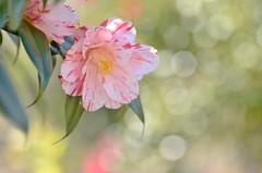 camellia flowers (snowshoe hare*) Tags: flowers camellia botanicalgarden 椿 海の中道海浜公園 dsc0036