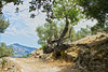 Port de Soller 20 June 2015-0050.jpg (JamesPDeans.co.uk) Tags: europe history landscape majorca nature olivetree roads spain trees weather agriculture farm gnarled hot mallorca old path plants roots sóller illesbalears ifthetreescouldtalk abitofhistory fruitful prints for sale man who has everything digital downloads licence wwwjamespdeanscouk landscapeforwalls james p deans photography