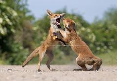 Fox cubs scrapping (Greg Morgan wildlife) Tags: playing fox fighting britishwildlife foxcub wildlifebehaviour gregmorganphotography