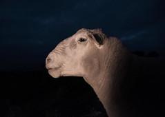 [fransisco] (Shovelling Son) Tags: wool proud sheep head beast ram fransisco