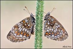 Melithaea athalia (alfvet) Tags: macro nature ngc butterflies natura npc insetti farfalle parcodelticino lepidotteri