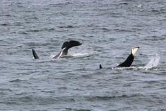 Lobo K26 and Yoda K36 tail slaps (SanJuanOrcas) Tags: ocean sea wild island san juan wildlife killer whale orca cetacean