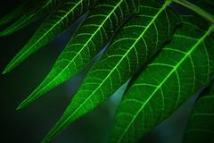 New Summer Foliage- Cross Polarizing (tonyajbender) Tags: macro nature leaves outdoors foliage extensiontubes extentiontubes crosspolarized photochallengeorg photochallenge2015