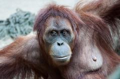 Female Orang (Sebastian Niedlich (Grabthar)) Tags: germany deutschland zoo monkey nikon leipzig orangutan ape tamron pongo affe menschenaffe d90 0715 july15 zooleipzig sumatranorangutan pongoabelii grabthar sebastianniedlich nikond90 sumatraorangutan leipzigzoo tamronsp150600mmf563divcusd