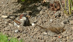 House sparrows dust bath (Martellotower) Tags:
