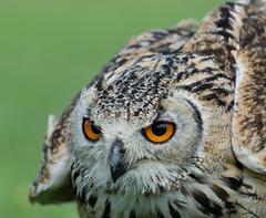 I'm ready for it, where's my food! (www.mroosfotografie.nl) Tags: detail bird eyes nikon focus dof owl nikkor 70200 f4 d600 mroosfotografie