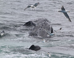 Humpback Whales IMG_0423 (webirdtoo) Tags: massachusetts whales 2015