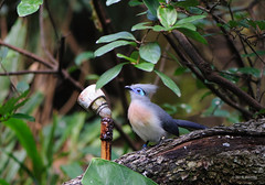 Blue bird of happiness (ddindy) Tags: orlando florida disney disneyworld waltdisneyworld disneysanimalkingdom panganiforestexplorationtrail