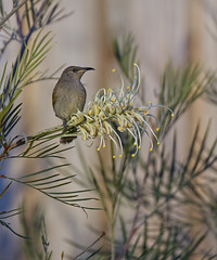 20150808_Brown Honeyeater_0015 (_Scorps_) Tags: brown bird canon backyard native small australia busy qld honeyeater lichmeraindistincta brownhoneyeater yamanto