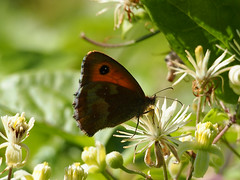 Gatekeeper and wild clematis (mark.griffin52) Tags: england flower nature butterfly insect wildlife clematis wildflower tring hertfordshire gatekeeper wilstonereservoir olympusem5