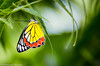 Indian Jezebel butterfly, a beautiful tiny species (Debajyoti M) Tags: india westbengal d5100 autofocus birbhum flickrlovers flickrlover nikond5100 naturalcolours nature outdoor wow 2016 indianjezebelbutterfly beautiful