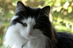 ROSIE (K.Verhulst) Tags: rosie noorseboskat boskat cats cat poes pet norwegianforestcat forestcat coth5